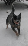 Adelaide, our Australian cattle dog, chasing balls in the snow.