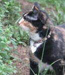 Pumpkin, a calico rescued from the shelter, sniffing the catnip in our backyard.